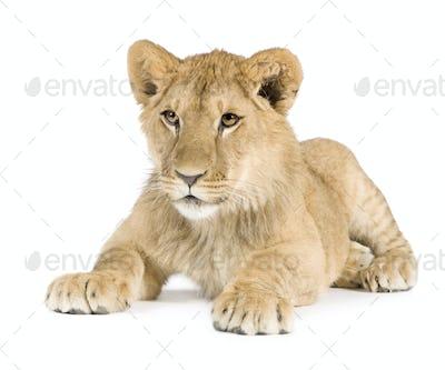 Lion cub (8 months)
