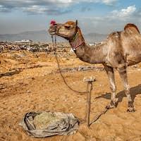 Camels at Pushkar Mela Camel Fair,  Indi