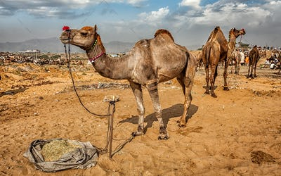 Camels at Pushkar Mela Camel Fair,  Indi