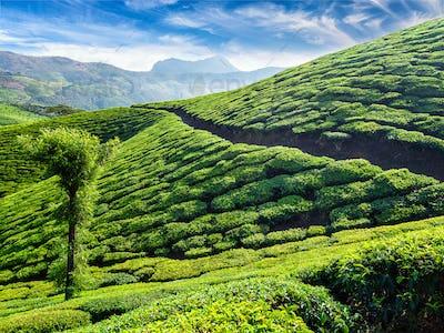 Tea plantations, Munnar, Kerala state, India