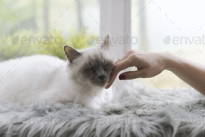 Woman caressing a cat lying on a fluffy carpet