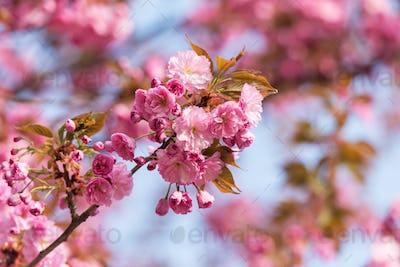 Pink sakura flowers on spring cherrys twigs