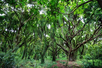 Forest on Hawaii