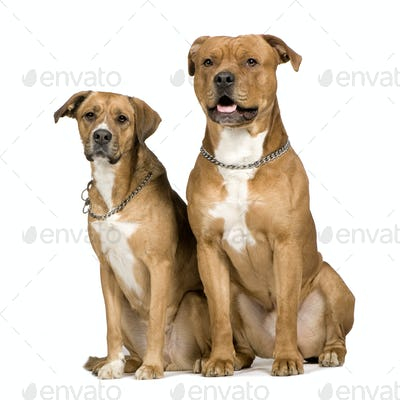 Two crossbreed dogs