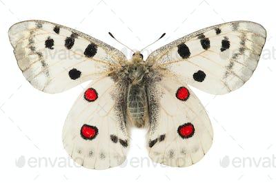 Apollo butterfly (Parnassius apollo)