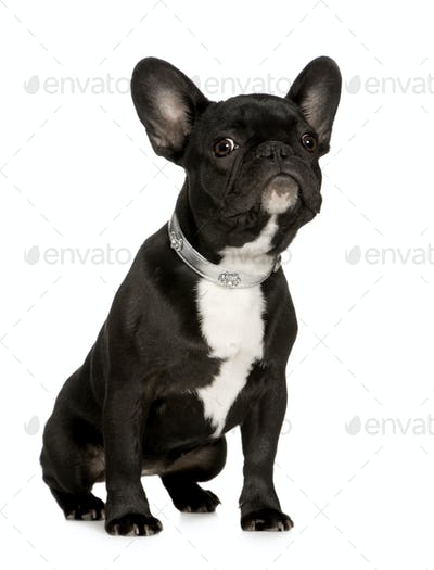 French Bulldog (6 months)