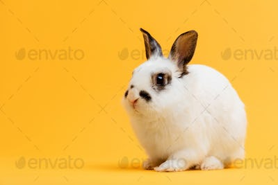 Little bunny sitting on yellow background.