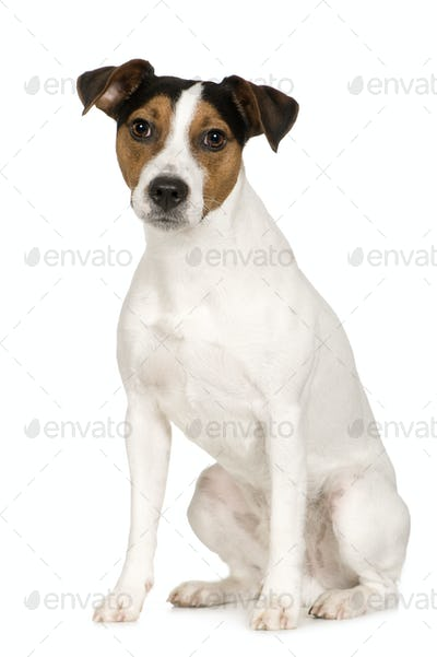 Parson Russell Terrier (2 years)