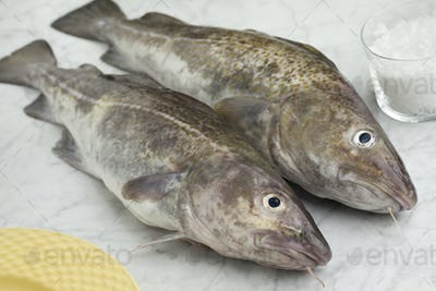 Pair of fresh raw cod fishes
