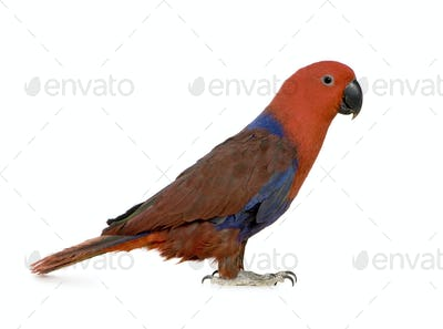 Eclectus Parrot - Eclectus roratus  (1 years)
