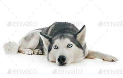 siberian husky in studio