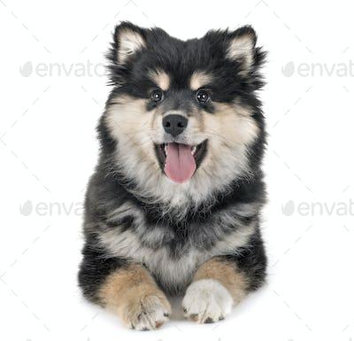 puppy Finnish Lapphund