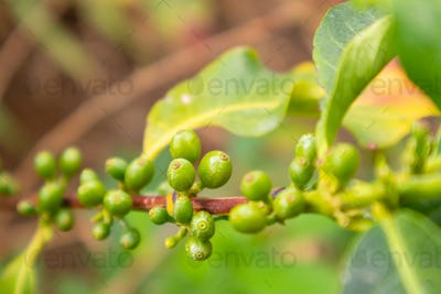 Close-Up Of Fresh Coffee Fruits Growing In Farm