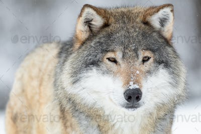 Close-up portrait of a wolf in the cold winter