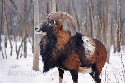 Mouflon Male (Ovis musimon) in the winter forest, horned animal