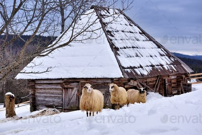 Young sheep standing together in snow covered farmland
