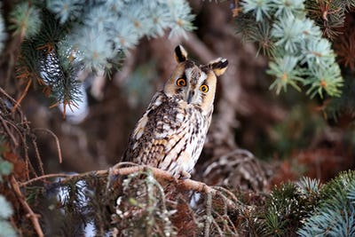 A Long-eared Owl (Asio otus) sitting on a tree and looking on th