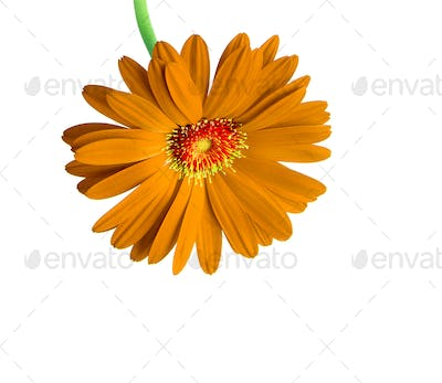 Orange flower isolated on white background