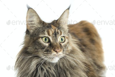 isolated maine coon cat specimen lying down