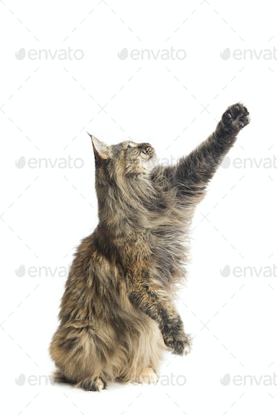 specimen of isolated maine coon cat playing sitting down