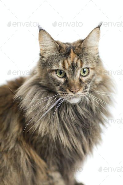 isolated maine coon cat specimen sitting