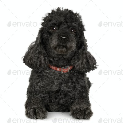 Poodle (7 years)