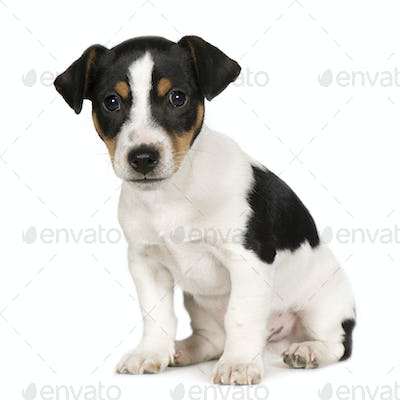 Jack russell (2 months)