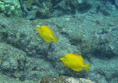 Yellow Tangs in Hawaii island