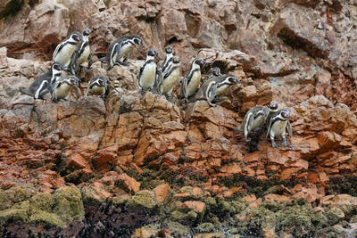 Humboldt Penguins in Peru