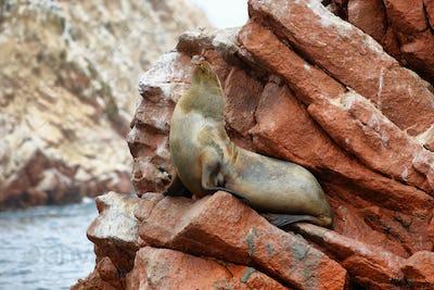 Fur seal in Ballestas islands, Peru