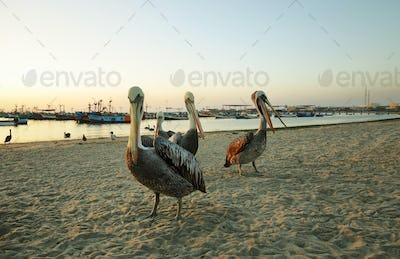 Peruvian pelican in Paracas, Peru