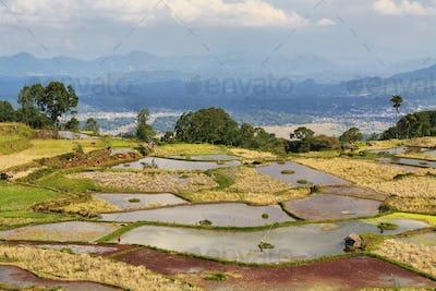 Rice fields near Limbong
