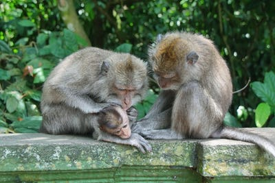 Balinese monkey with her baby
