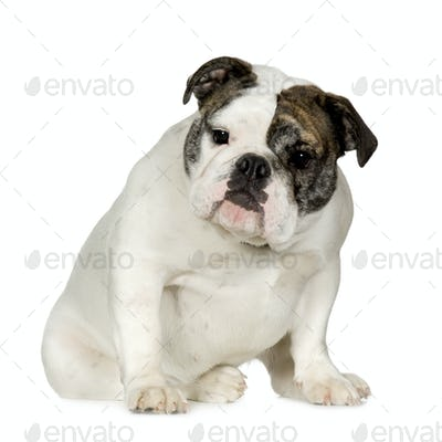 English Bulldog (15 months)