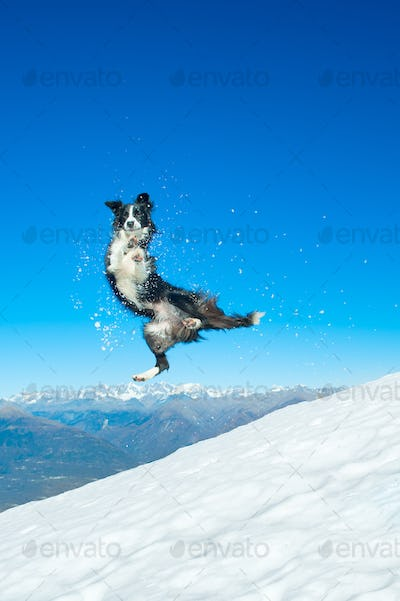 Border Collie jumps in the snow in the mountains