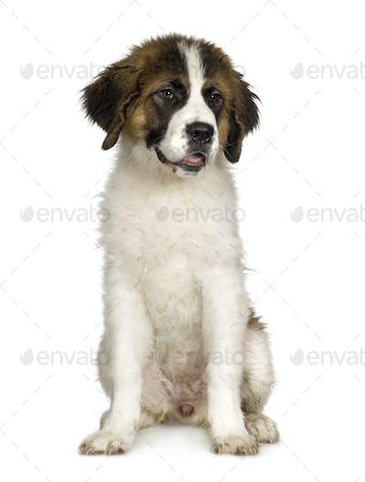 Saint Bernard puppy (7 months)