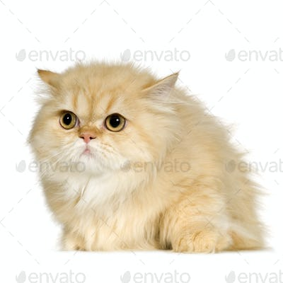 Young persian cat (6 months)