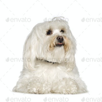 Maltese dog (2 years)