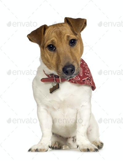 Jack russell (6 months)