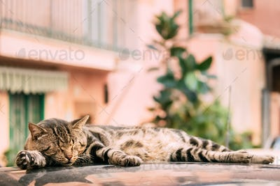 Peaceful Gray Tabby Cat Male Kitten Sleeping On Roof Of Car