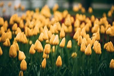 Yellow Tulips Flowers In Spring Garden Flower Bed