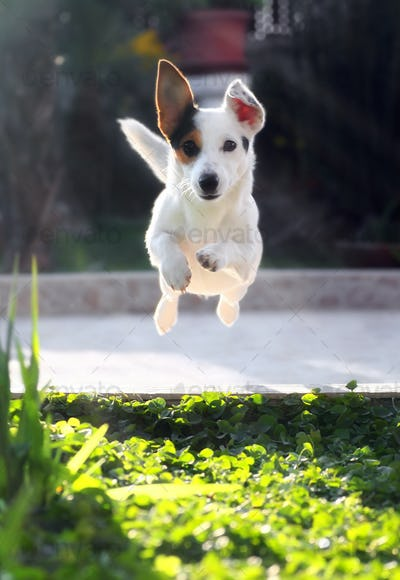 Jumping jack russell terrier for thrown ball aport