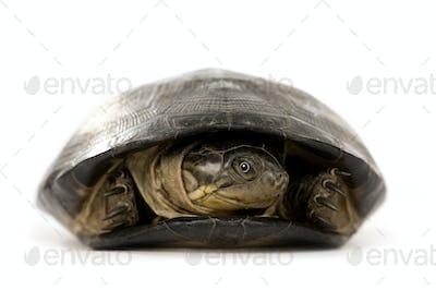 Turtle - pélusios subniger