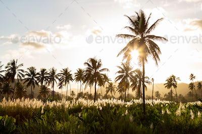 Sunset on coconut and sugar canne plantation near Achada Fazenda