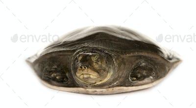 soft-shell turtles - Family: Trionychidae