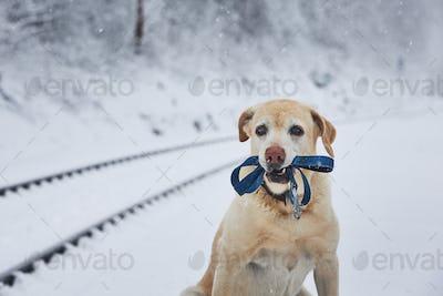 Loaylty dog in winter
