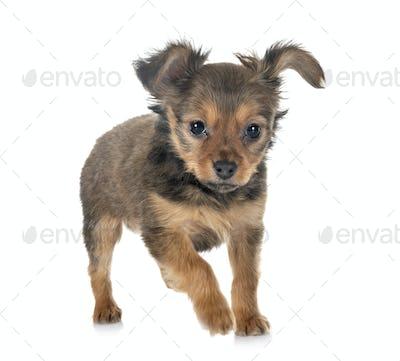 puppy Russkiy Toy
