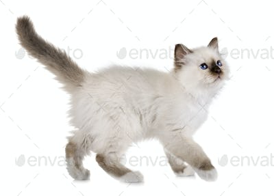 birman kitten in studio