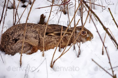 The European hare (Lepus europaeus) hid under a bush on snow