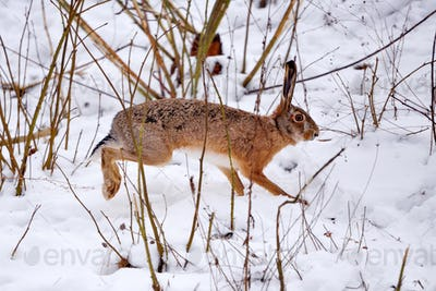 The European hare (Lepus europaeus) running on the winter forest